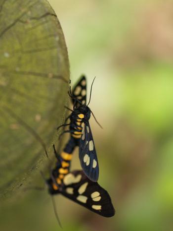 ヒトリガ科: 茨城の自然 が・ガ・蛾探検隊